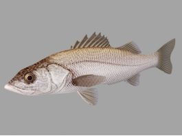 Animated Sea Bass Fish Rig 3d preview