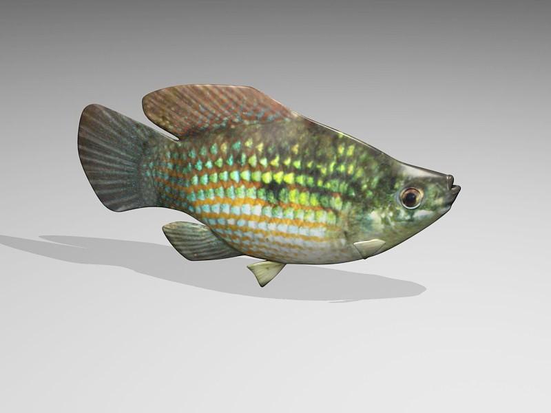 American Flagfish 3d rendering