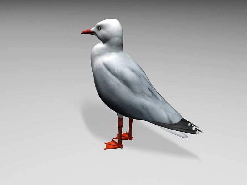 Pacific Seagull 3d rendering