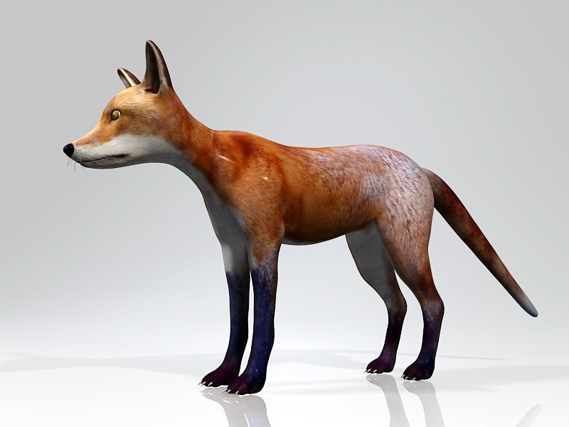 Red Fox Animal Rigged 3d rendering