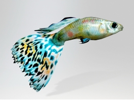 Rainbow Guppy Fish 3d preview