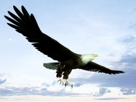 Bald Eagle Flying 3d preview