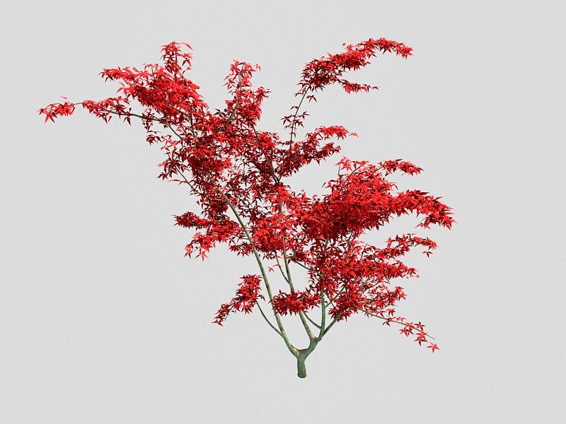 Ornamental Dwarf Japanese Maple Tree 3d rendering
