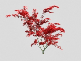 Ornamental Dwarf Japanese Maple Tree 3d preview