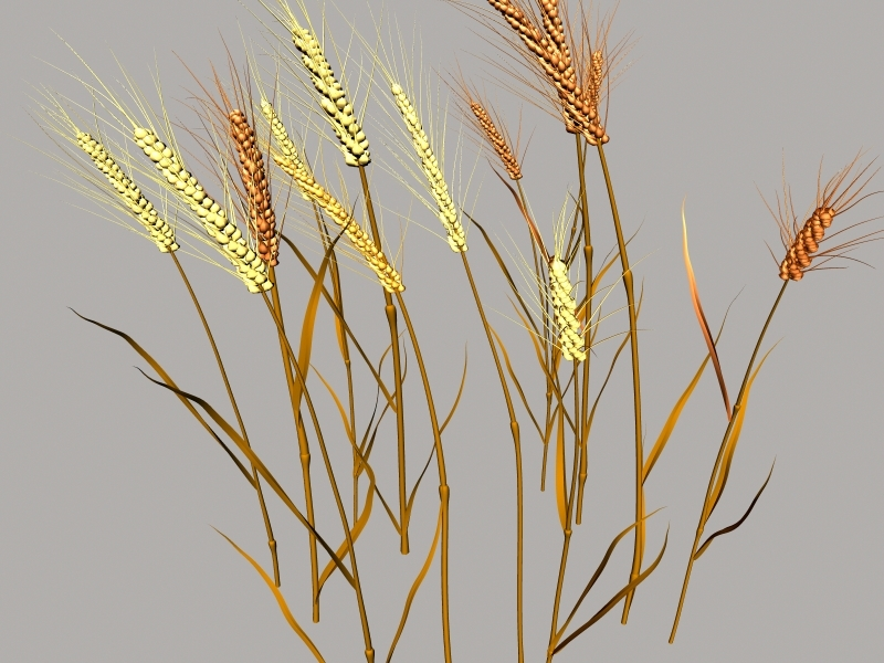 Nature Wheat 3d rendering